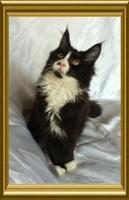 Foto 5 Noch ein wunderschönes Maine Coon Kitten
