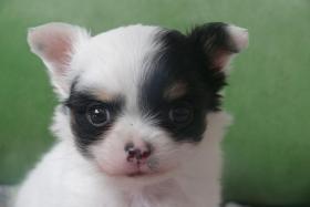 Noch zwei süße Chihuahuamäuse abzugeben