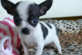 Foto 2 Noch zwei süße Chihuahuamäuse abzugeben