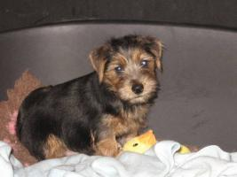 Foto 2 Norfolk Terrier