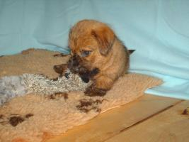 Foto 3 Norfolk Terrier