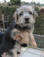 Norfolk Terrier H�ndin