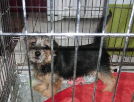 Foto 3 Norfolk Terrier H�ndin