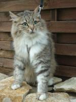 Norwegische Waldkatze Perser Mix abzugeben