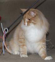 Foto 3 Norwegische Waldkatze sucht noch seine Katzenpflegeeltern.