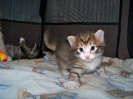 Norwegische Waldkatze - Kätzchen seltener Farbe Amber