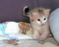 Foto 2 Norwegische Waldkatze - Kätzchen seltener Farbe Amber