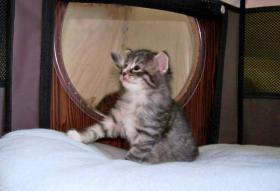 Foto 3 Norwegische Waldkatze - Kätzchen seltener Farbe Amber