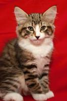 Foto 3 Norwegische Waldkatze - Katzenbabys