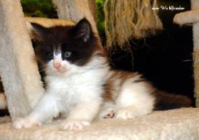 Foto 4 Norwegische Waldkatzen