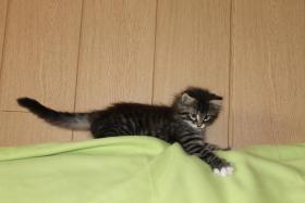 Foto 2 Norwegische Waldkatzen