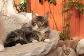 Norwegische Waldkatzen