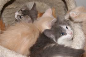 Norwegische Waldkatzen-BABYS