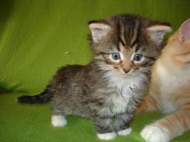 Foto 5 Norwegische Waldkatzen Babys