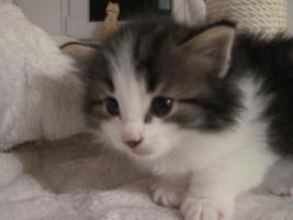 Norwegische Waldkatzen-Baby`s suchen liebevollen Dosenöffner auf Lebzeit