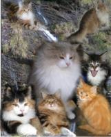 Norwegische Waldkatzen Babys mit viel Fell und sch�nen Luxpinselchen !
