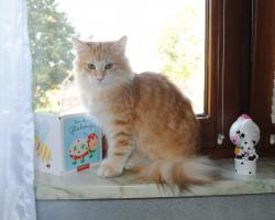 Norwegische Waldkatzen Kätzchen in den seltenden amber Farben mit Papiere
