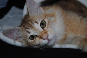 Foto 3 Norwegische Waldkatzen Kätzchen in den seltenden amber Farben mit Papiere