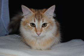 Foto 4 Norwegische Waldkatzen Kätzchen in den seltenden amber Farben mit Papiere