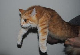 Foto 5 Norwegische Waldkatzen Kätzchen in den seltenden amber Farben mit Papiere