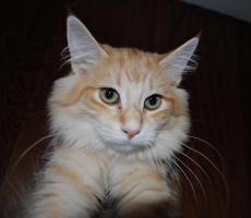 Foto 6 Norwegische Waldkatzen Kätzchen in den seltenden amber Farben mit Papiere
