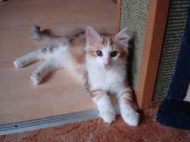 Foto 3 Norwegische Waldkatzen Katzenbabys