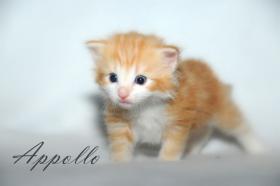 Foto 4 Norwegische Waldkatzen Kitten