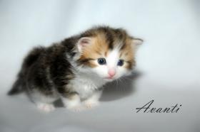 Foto 5 Norwegische Waldkatzen Kitten