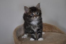 Norwegische Waldkatzen Kitten aus liebevoller Hobbyzucht in Landshut / Bayern  zu verkaufen