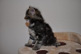 Foto 3 Norwegische Waldkatzen Kitten aus liebevoller Hobbyzucht in Landshut / Bayern  zu verkaufen