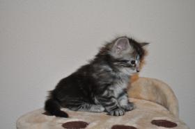 Foto 4 Norwegische Waldkatzen Kitten aus liebevoller Hobbyzucht in Landshut / Bayern  zu verkaufen
