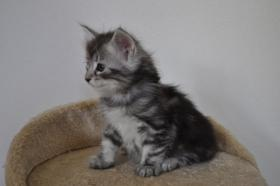 Foto 5 Norwegische Waldkatzen Kitten aus liebevoller Hobbyzucht in Landshut / Bayern  zu verkaufen
