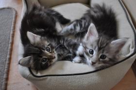 Foto 6 Norwegische Waldkatzen Kitten aus liebevoller Hobbyzucht in Landshut / Bayern  zu verkaufen