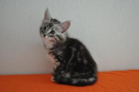 Foto 2 Norwegische Waldkatzen Kitten m. Papiere in Landshut / Bayern