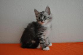 Foto 3 Norwegische Waldkatzen Kitten m. Papiere in Landshut / Bayern