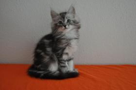 Foto 4 Norwegische Waldkatzen Kitten m. Papiere in Landshut / Bayern