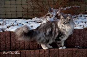 Foto 6 Norwegische Waldkatzen Kitten m. Papiere in Landshut / Bayern
