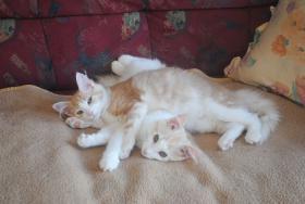 Norwegische Waldkatzen Kitten m. Papiere in diversen Farben