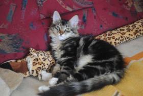 Foto 3 Norwegische Waldkatzen Kitten m. Papiere in diversen Farben