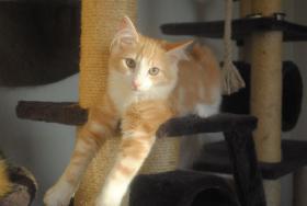 Foto 4 Norwegische Waldkatzen Kitten m. Papiere in diversen Farben