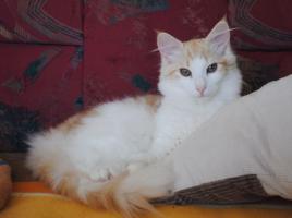 Foto 5 Norwegische Waldkatzen Kitten m. Papiere in diversen Farben