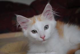 Foto 6 Norwegische Waldkatzen Kitten m. Papiere in diversen Farben