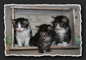 Norwegische Waldkatzen Kitten suchen liebe Dosenöffener.