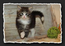 Foto 2 Norwegische Waldkatzen Kitten suchen liebe Dosenöffener.