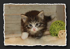 Foto 3 Norwegische Waldkatzen Kitten suchen liebe Dosenöffener.
