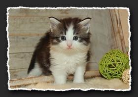 Foto 4 Norwegische Waldkatzen Kitten suchen liebe Dosenöffener.