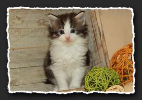 Foto 5 Norwegische Waldkatzen Kitten suchen liebe Dosenöffener.