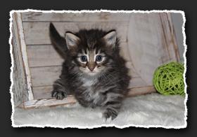 Foto 6 Norwegische Waldkatzen Kitten suchen liebe Dosenöffener.