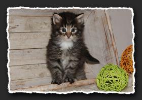 Foto 7 Norwegische Waldkatzen Kitten suchen liebe Dosenöffener.