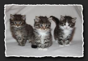 Norwegische Waldkatzen Kitten suchen neue Bauchkrauler